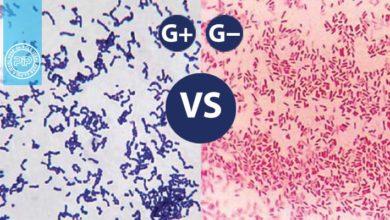 تفاوت های میان باکتری های گرم مثبت و باکتری های گرم منفی