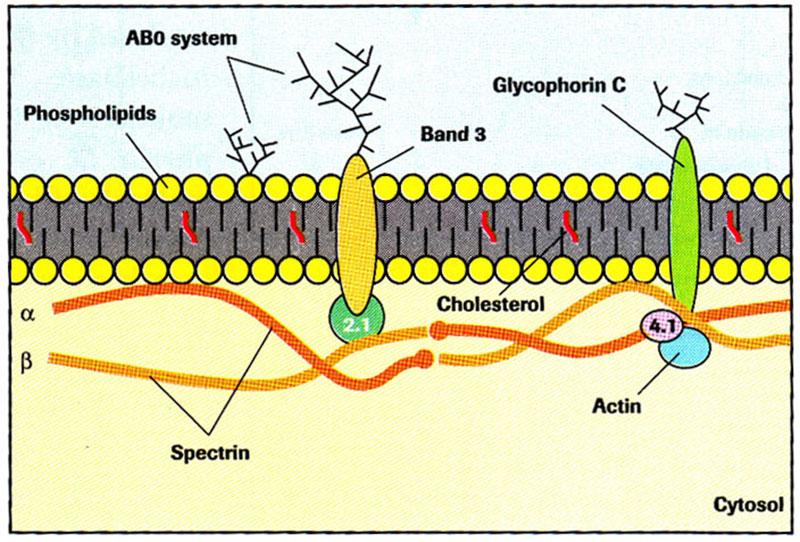 ساختار غشاء اریتروسیت
